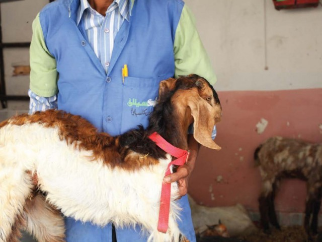 The Saylani Welfare Trust slaughters up to 100 goats a day. Mutton is mostly used by the other charities as well. PHOTO: NEFER SEHGAL/EXPRESS