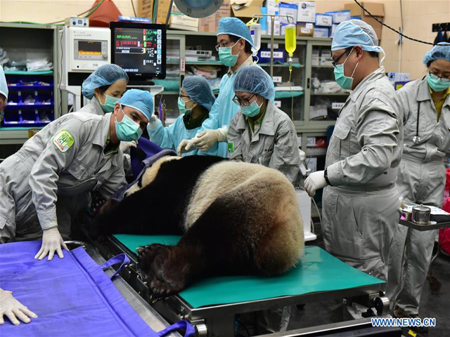 Veterinarians of Taipei Zoo check a giant panda before artificial insemination in Taipei, southeast China's. PHOTO COURTESY: XINHUA