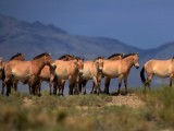 a-herd-of-endangered-przewalski-horses-are-seen-at-the-takhin-us-national-park-in-the-south-west-part-of-mongolia