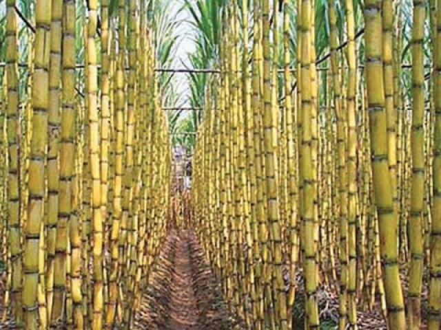 Sugarcane crop PHOTO: FILE