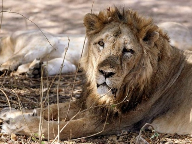 Asiatic lion PHOTO: REUTERS