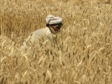 a-farmer-harvests-wheat-at-a-field-in-the-outskirts-of-lahore