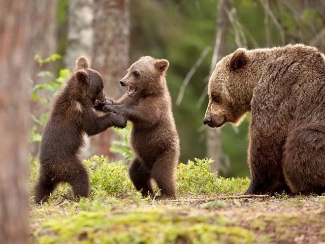 'Care bears' react to pressure from hunting