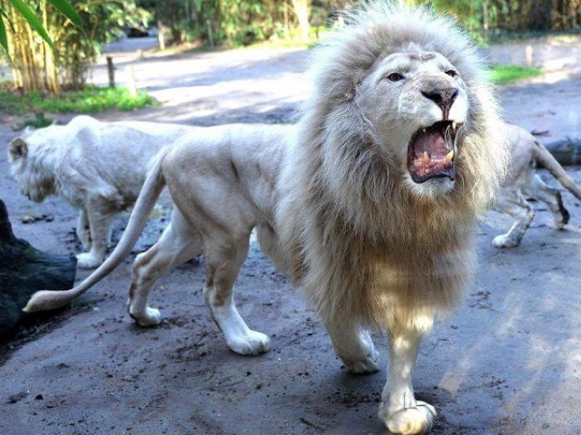 Lions eat poachers in African game reserve