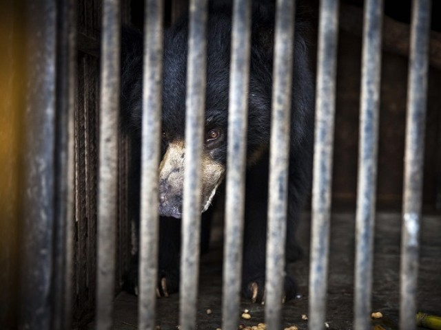 Rangila seen at a zoo near Kathmandu before he is transferred to a sanctuary for rescued bears in India. PHOTO: AFP