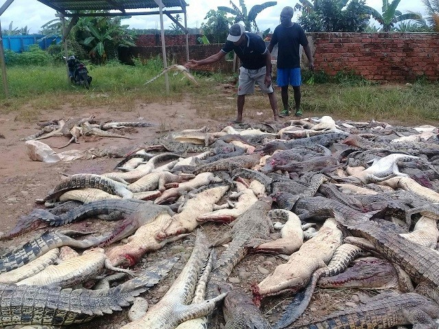 Mob slaughters 292 crocodiles in 'revenge' for man's death