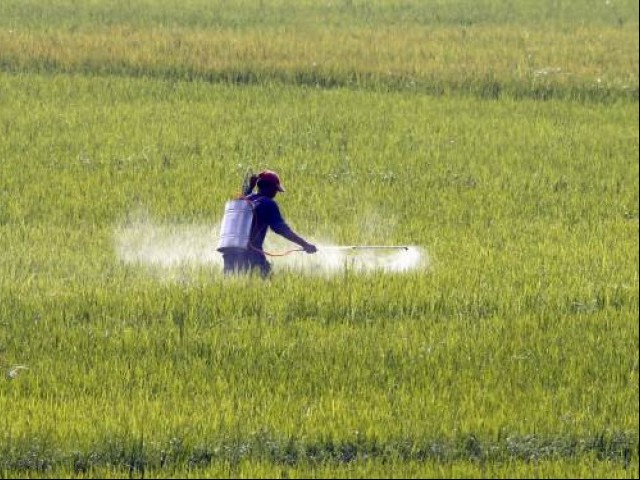 A farmer sprays liquified fertilizer over a rice field. PHOTO: REUTERS