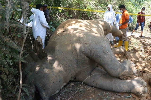 Graphic content / Indonesian police and rangers conduct an investigation on a dead female elephant at the Banda Alam plantations in East Aceh, Aceh province, on July 13, 2018.  PHOTO: AFP