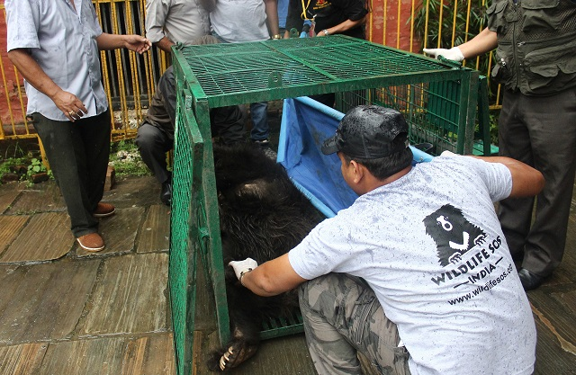Rangila is transfered to an animal ambulance to be transported to a sanctuary for rescued bears in India. PHOTO: AFP