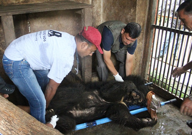 This handout photo released by animal charity Wildlife SOS and taken on July 10, 2018, shows wildlife officials preparing Rangila, Nepal's last known dancing bear, at a zoo near the capital Kathmandu, as he is transfered to an animal ambulance to be transported to a sanctuary for rescued bears in India. PHOTO: AFP