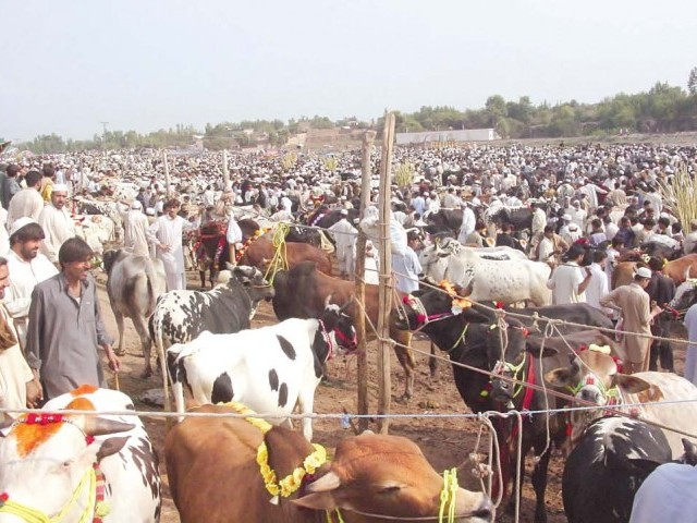 A view of a jam-packed cattle market in Peshawar. PHOTO: ABDUL GHAFFAR/EXPRESS
