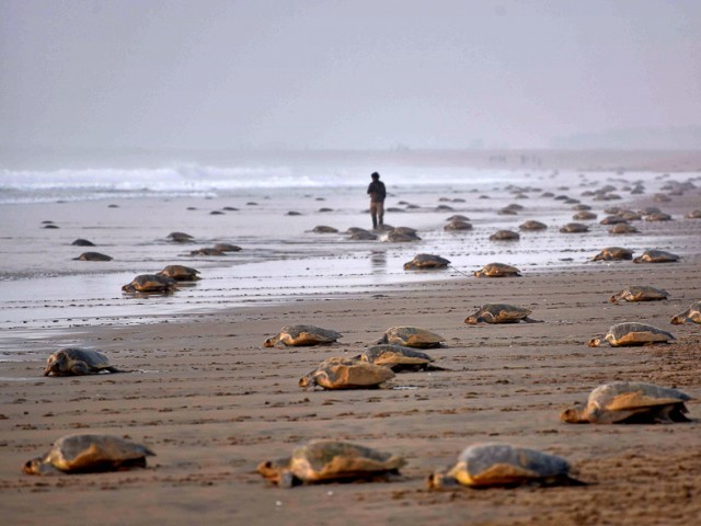 300 endangered turtles found dead on Mexican beach. PHOTO: AFP