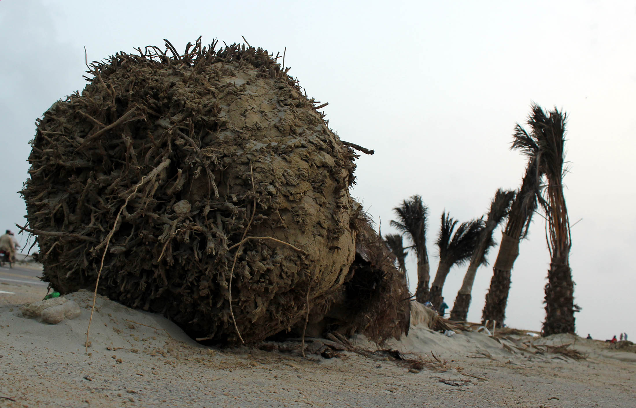 A fallen date palm. Photo: Athar Khan