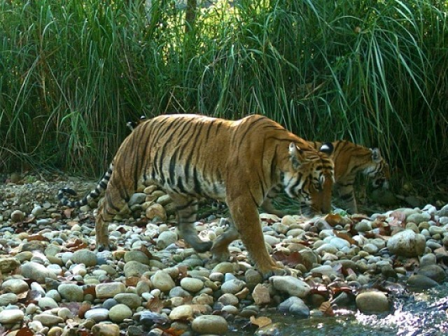 The wild tiger population in Nepal was counted as 235 in a survey carried out this year, double that in 2009. PHOTO: AFP