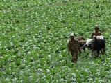pakistani-farmers-walk-bulls-through-a-tobacco-field-in-mardan-photo-afp-2-2-2-2