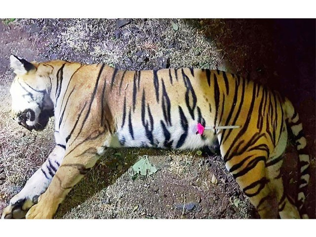 Man-eating tigress shot dead in India