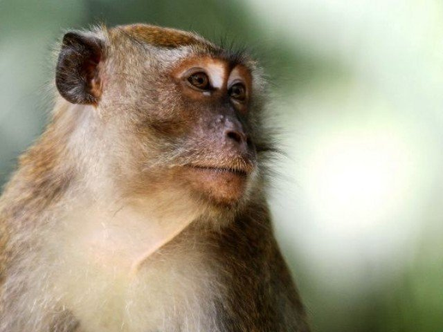 Monkey snatches baby as mum breastfeeds him