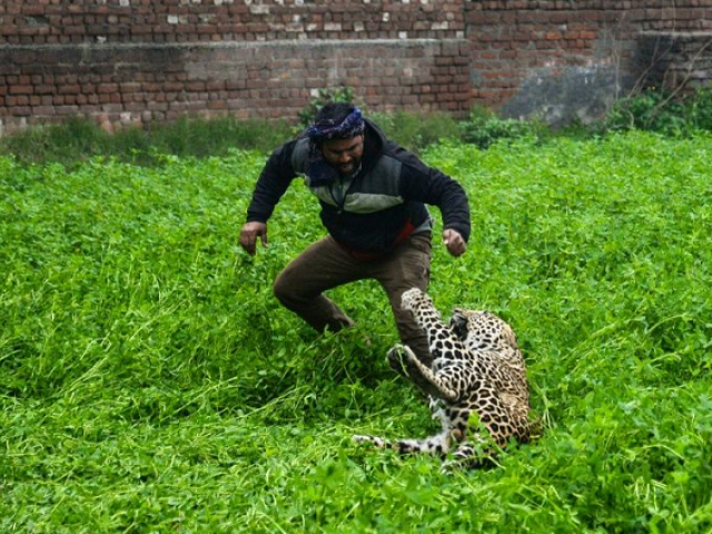 Four people were hauled to the ground and bitten by the leopard before it was caught. PHOTO: AFP