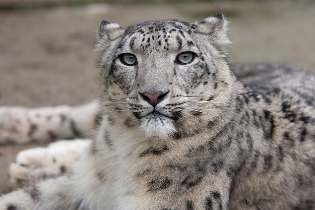 Snow leopards are a highly endangered species of big cat found in the Hindu Kush-Himalayan range. PHOTO: WWF-PAKISTAN