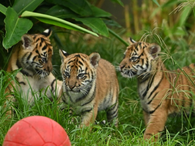 Two female cubs and their brother explored the outside environment for the first time at Sydney's Taronga Zoo. PHOTO: AFP