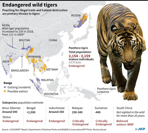 Endangered wild tigers. PHOTO: AFP
