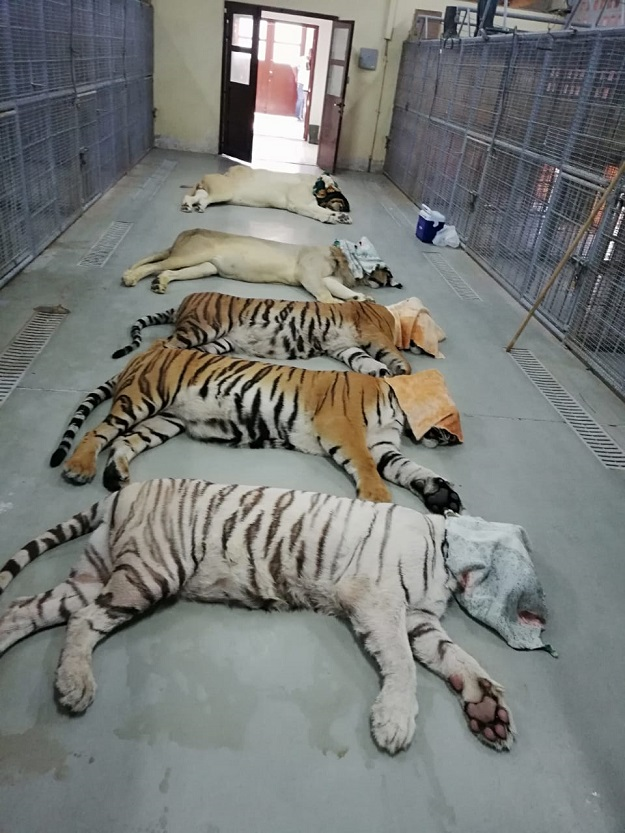 UAE gifts 18 big cats to Lahore Safari Zoo