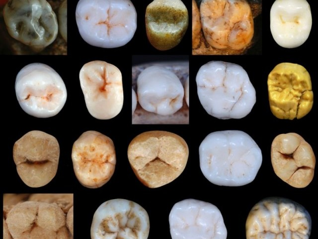 This undated image released by the University College London shows teeth samples of hominins found at the Sima de los Huesos cave site in Spain. PHOTO: AFP