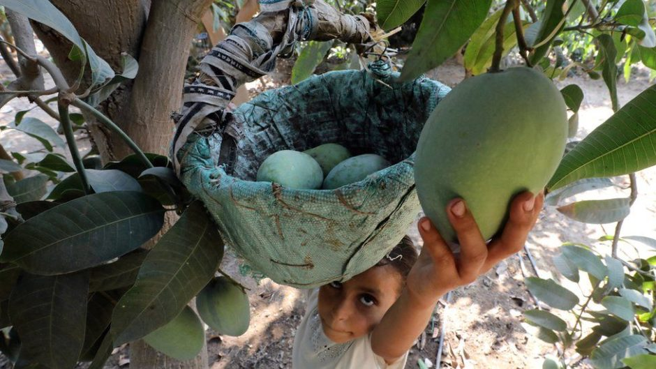 A girl picks a mango in this AFP file photo.