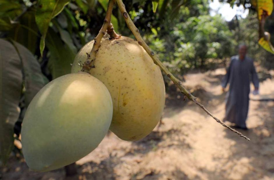 Mangoes. PHOTO: AFP