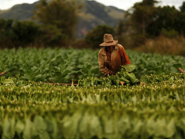 A farmer harvests tobacco leaves at a plantation in the valley of Vinales. PHOTO: REUTERS