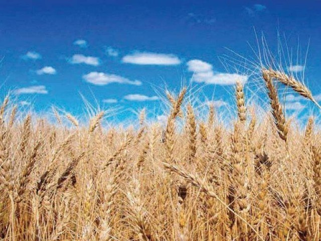 Wheat is a staple food crop of Pakistan and accounts for nearly 36% of the total cropped area, 30% of value addition in major crops and 76% of the total production of food grains. PHOTO: FILE