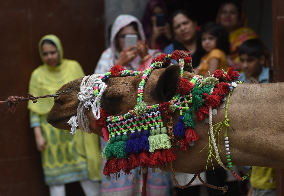 Pakistani Muslims watch as a camel is prepared for sacrifice on the second day of the Eid al-Adha festival in Karachi. PHOTO: AFP