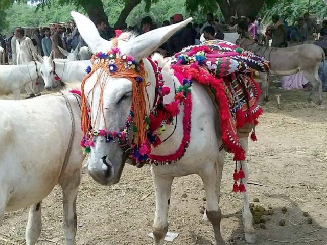 The donkeys are given a persona of their own which is often reflected in their unique names, such as Mahduri, Sheela, much to the amusement of visitors. They are also adorned with  tassels, ribbons and the like, to look more attractive for buyers. PHOTOS: EXPRESS