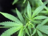 marijuana-plants-are-displayed-for-sale-at-canna-pi-medical-marijuana-dispensary-in-seattle-2-2-3-2