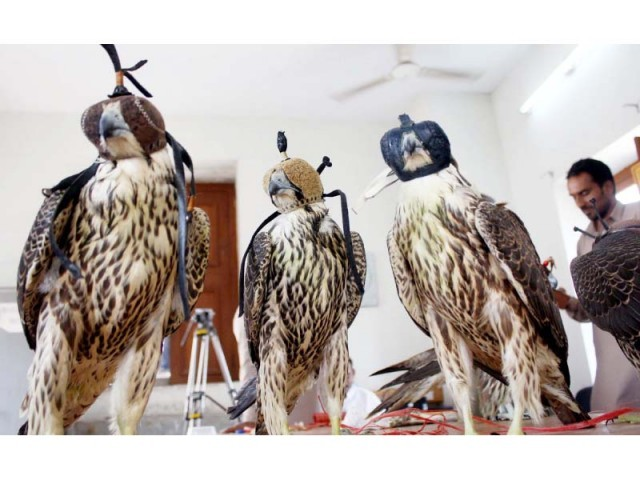 According to the wildlife department, 10 rare falcons were rescued from smugglers who were attempting to send them to the Gulf States. PHOTO: ONLINE