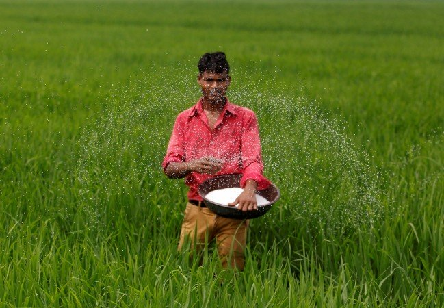 a farmer spreads fertiliser in his rice field photo reuters