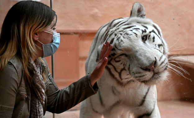 An employee interacts with a Bengal tiger named Shere Khan through the glass wall of an enclosure at the private zoo